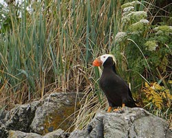 Puffin on the shore on a custom Alaska Boat Charter