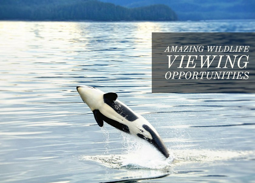 Orca on a custom Prince William Sound Cruise