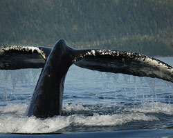 Humpback Whale Tail on a custom Prince William Sound Charter